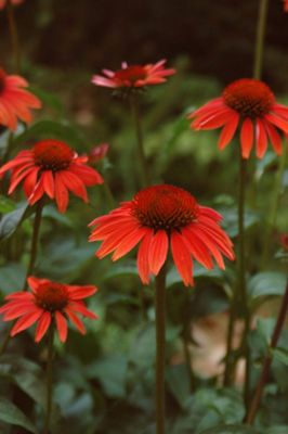 coneflower (Echinacea 'Sundown' (Big Sky Series))