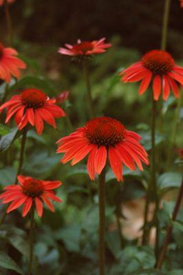 coneflower (Echinacea 'Sundown' (Big Sky Series))