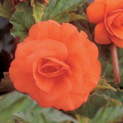 6 x Orange Double Flowered Begonia Bulbs - Perennial Summer Flowers (Tubers)