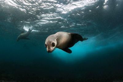 Australian Fur Seal Poster 61x91.5cm,