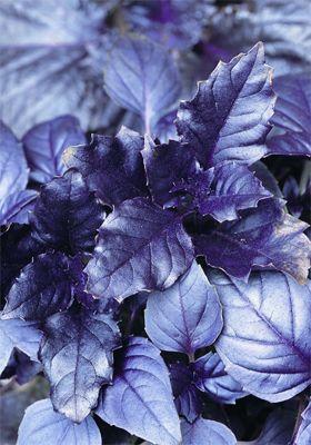 basil (basil 'Purple Ruffles')