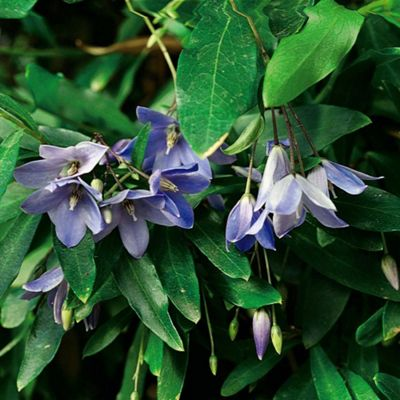 Bluebell Creeper - Part of the Alan Titchmarsh Collection - 1 x 7cm potted plant