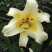 3 x Skyscraper 'Late Morning' Lily Bulbs - Perennial Yellow Summer Flowers