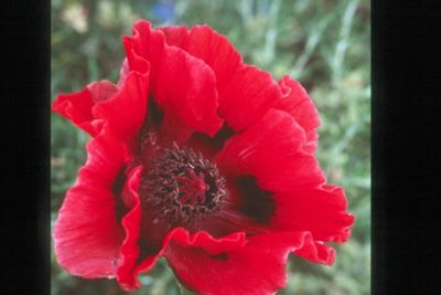 oriental poppy (Papaver orientale 'Bonfire')