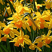 10 x Narcissus 'Puppet' (Daffodil) Bulbs - Perennial Spring Flowers