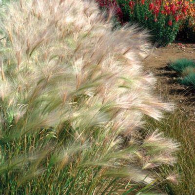 Hordeum jubatum - 1 packet (100 seeds)