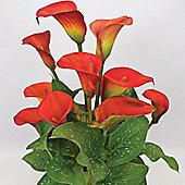 1 x Zantedeschia 'Red Alert' Bulb - Perennial Calla Lily Summer Flowers (Corms)