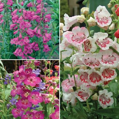 Penstemon 'Ice Cream Collection' - 3 Postiplugs - 1 of each variety