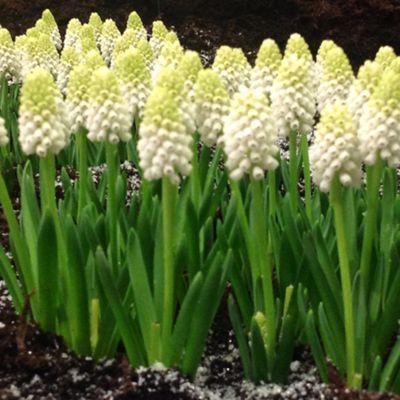 50 x Muscari Armeniacum 'Siberian Tiger' Bulbs - Perennial Spring Flowers