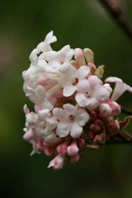 viburnum (Viburnum ? bodnantense 'Dawn')