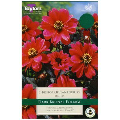 1x Bronze Leaf Dahlia 'Bishop of Canterbury' Summer Flowering Bulb