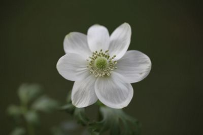 anemone bulbs ( syn The Bride ) (Anemone coronaria 'Die Braut')