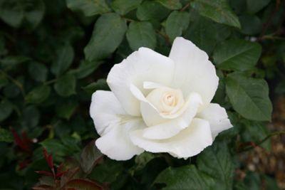rose Silver Anniversary (hybrid tea) (Rosa Silver Anniversary ('Poulari') (PBR))