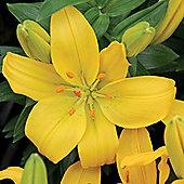 3 x Dwarf 'Rio de Janeiro' Lily Bulbs - Perennial Yellow Summer Flowers