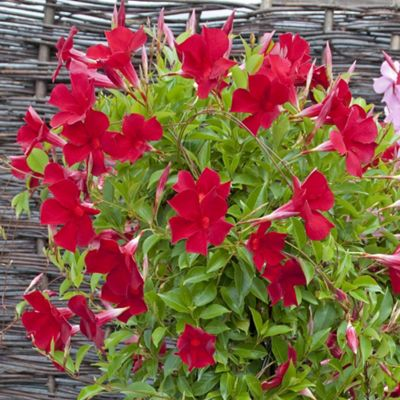 buy sundaville 39 red 39 1 plant in 9cm pot from our all. Black Bedroom Furniture Sets. Home Design Ideas