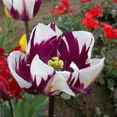 10 x Tulip 'Rem's Favourite' Bulbs - Perennial Spring Flowers