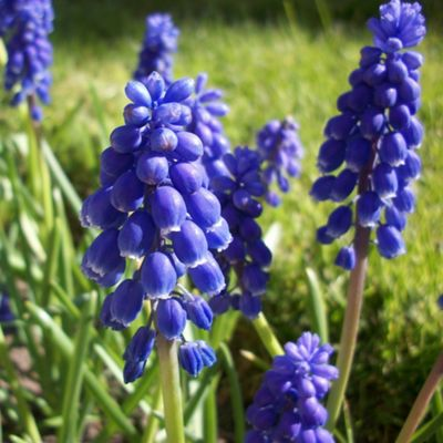50 x Muscari Armeniacum Bulbs - Perennial Spring Flowers