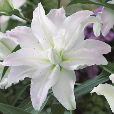 Tree Lily® 'Picasso' - 3 bulbs