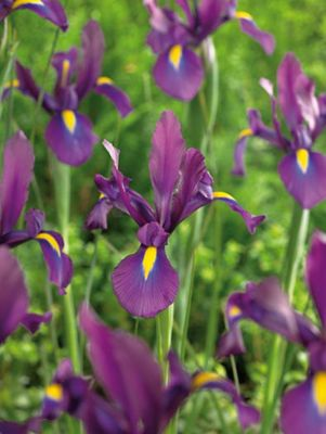 Iris Purple Sensation - 50 Bulbs