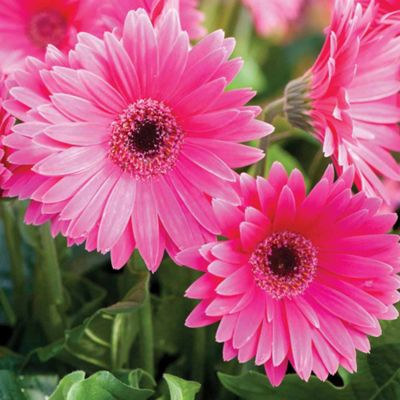 Gerbera 'Sweet Dreams' (Garvinea) - Part of the Alan Titchmarsh Collection - 3 x 9cm potted plants