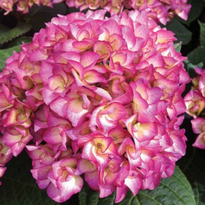 Hydrangea macrophylla 'Swinging Sixties' - 2 x 9cm potted plant
