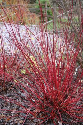 red-barked dogwood (Cornus alba 'Sibirica')