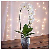 Light Up Orchid