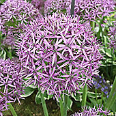 10 x Allium Stipitatum 'Violet Beauty' Bulbs - Perennial Spring Flowers