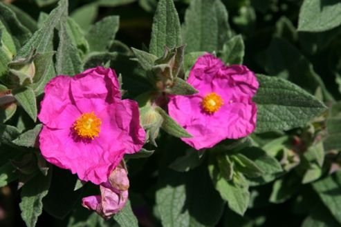 rock rose (Cistus ? pulverulentus 'Sunset')