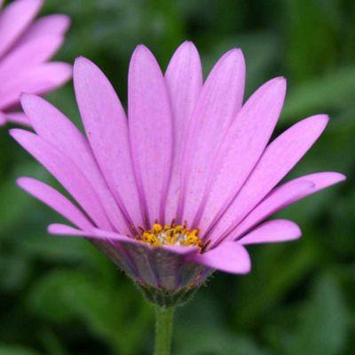 Osteospermum jucundum var. compactum (Hardy) - 3 jumbo plugs