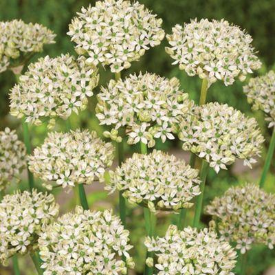 20 x Allium Nigrum Bulbs - Perennial Spring Flowers