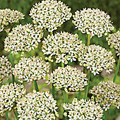 20 x Allium Nigrum Bulbs - Perennial Spring Flowers