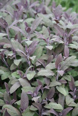 Purple Sage (Salvia officinalis 'Purpurascens')