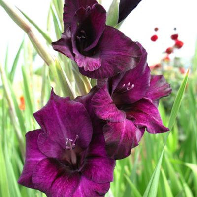 20 x Gladioli 'Plum Tart' Bulbs - Perennial Purple Summer Flowers (Corms)