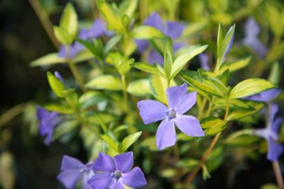 lesser periwinkle (Vinca minor 'Illumination')