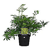 Choisya ternata Goldfingers or Mexican Orange Blossom 2L Potted