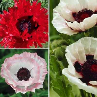 Buy Poppy 'Super Poppies' Collection - 3 jumbo plugs from our All
