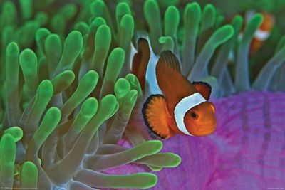Clownfish & Anemones Poster 61x91.5cm