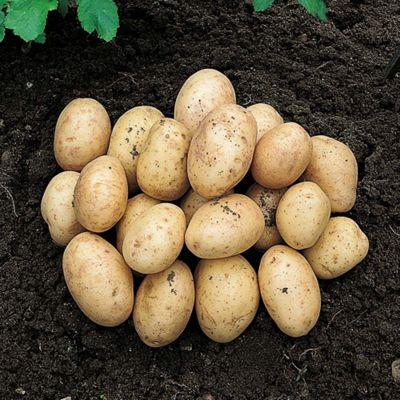 Potato 'Orla' - 10 tubers