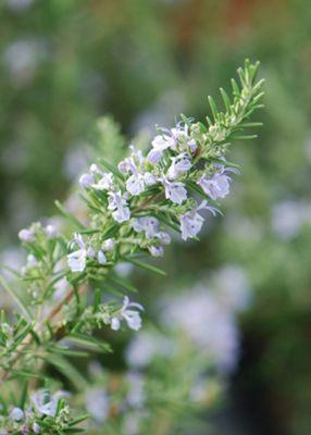 rosemary promotion - 6 pack (Rosmarinus officinalis)