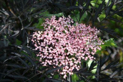 elder (Sambucus nigra f. porphyrophylla 'Eva' (PBR))