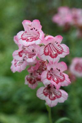 beard tongue (Penstemon 'Hidcote Pink')