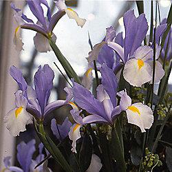 40 X Iris Silvery Beauty Bulbs Perennial Late Spring Flowers