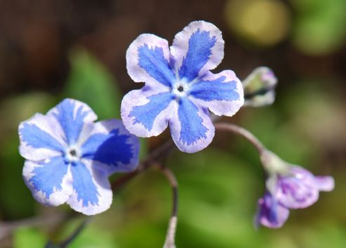 navelwort (Omphalodes cappadocica 'Starry Eyes')