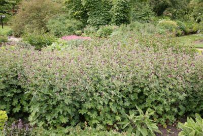 dusky cranesbill (Geranium phaeum)