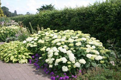 sevenbark (Hydrangea arborescens 'Annabelle')