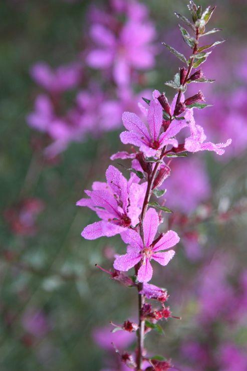 loosestrife (Lythrum virgatum 'Dropmore Purple')