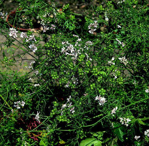 coriander (coriander 'Leafy Leisure')
