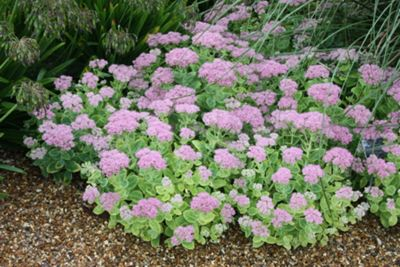 (Sedum spectabile (Brilliant Group) 'Brilliant')