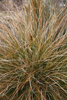sedge (Carex testacea)